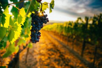 agriculteurs-:-le-point-sur-la-lutte-contre-la-flavescence-doree-de-la-vigne